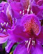 Paars Rhododendron