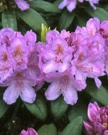 Rhododendron lila