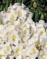 Witte Rhododendron