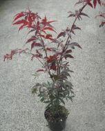 Japanse Esdoorn Rood