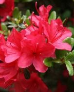 Rhododendron rode plant