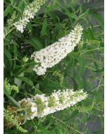 Vlinderstruik Wit