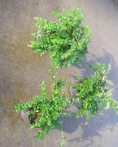 Zuurbes Green Carpet