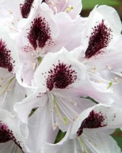 Rhododendron witte struik