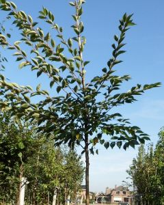 Kriekenboom Prunus