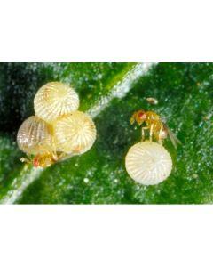 Sluipwesp tegen eitjes van motten