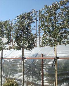 Quercus ilex leiboom