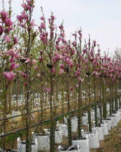 Beverboom magnolia susan