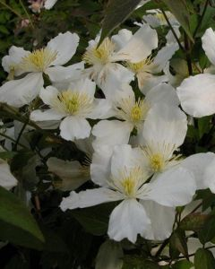Clematis montana Alba