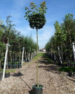 Acer platanoides bol