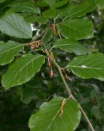 Groene Beukenboom