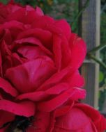 Rode Klimroos