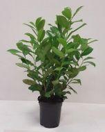 Laurierhaag Rotundifolia