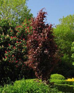 Rode Beukenboom