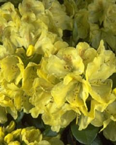 Gele Rhododendron