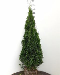 Coniferen thuja smaragd