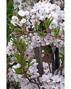 Zuilvormige Japanse sierkers