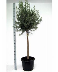 Grote Olijfboom