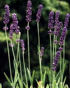 Lavendel planten