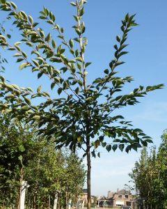 Kriekenboom Prunus