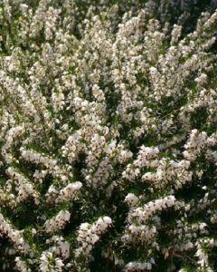 Winterheide Wit